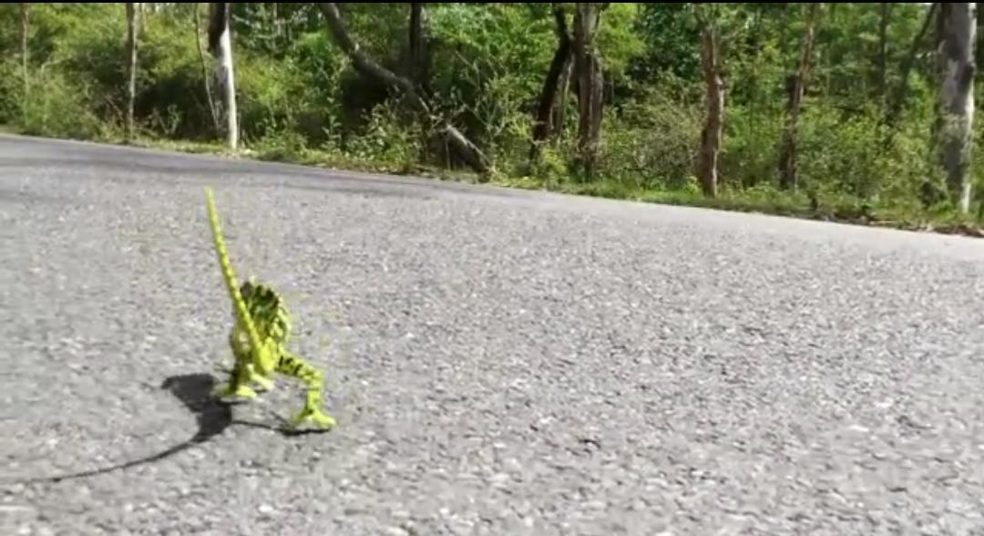 Chameleon In The Middle Of The Road At Sathyamangalam Forest Range