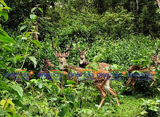 ಚಿತ್ರಗಳು: ನಾಗರಹೊಳೆ ರಾಷ್ಟ್ರೀಯ ಉದ್ಯಾನವನದಲ್ಲಿ ಜಿಂಕೆ, ಸಾರಂಗಗಳ ನಲಿದಾಟ