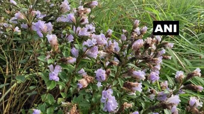 Neelakurinji Flowers Blooms At Santhanpara Shalom Hills In Idukki