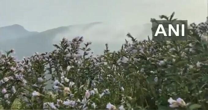 দেশ-বিদেশ থেকে এই Neelakurinji ফুল দেখতে ছুটে আসেন পর্যটকরা! কিন্তু কেন জানেন
