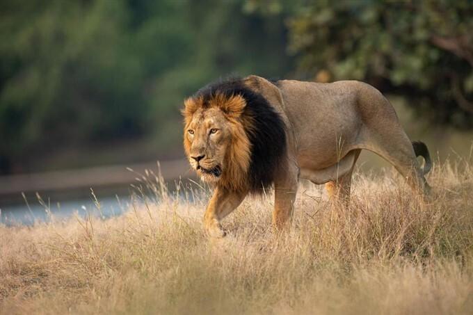 PM Modi Shares Stunning Images Of Lion On World Lion Day