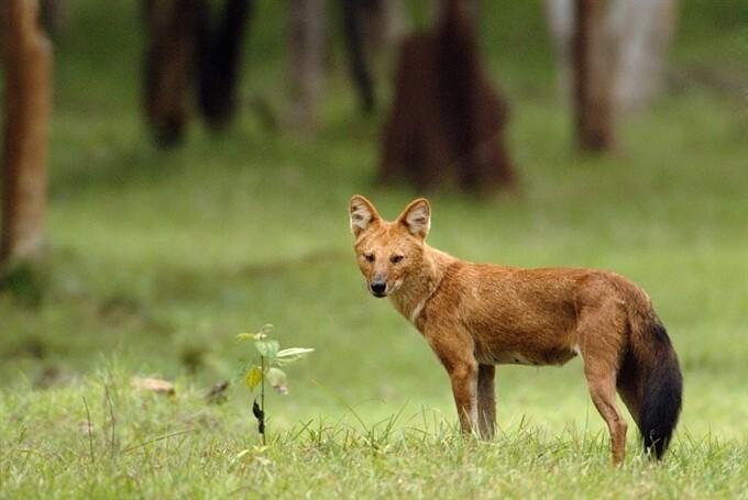 Wild Dogs Found Near The Ukkadam Pond In Coimbatore